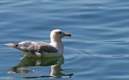 Gabbiano sul lago Immagini Stock Libere da Diritti
