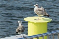 Gabbiano sul mare Fotografia Stock
