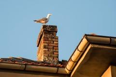 Gabbiano sul tubo sul tetto della casa nel tramonto fotografie stock libere da diritti