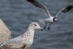 Gabbiano sulla costa di golfo Immagini Stock Libere da Diritti