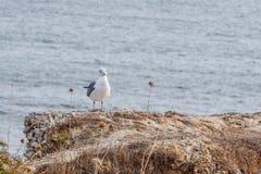 Gabbiano sulla pietra sull'Oceano Atlantico, Algarve fotografia stock libera da diritti