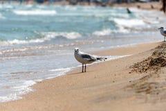 Gabbiano sulla sabbia nella spuma che cerca alimento Immagini Stock Libere da Diritti