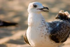 Gabbiano sulla spiaggia Immagini Stock Libere da Diritti