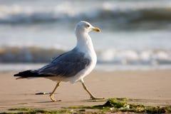 Gabbiano sulla spiaggia Fotografia Stock