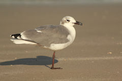 Gabbiano sulla spiaggia Fotografie Stock Libere da Diritti