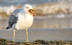 Gabbiano sulla spiaggia con il becco aperto fotografia stock libera da diritti