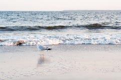 Gabbiano sulla spiaggia dell'oceano Fotografie Stock