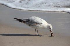Gabbiano sulla spiaggia di Florida Fotografie Stock Libere da Diritti