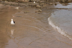Gabbiano sulla spiaggia Gaivota Immagine Stock