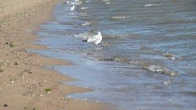 Gabbiano sulla spiaggia su cui il vento soffia stock footage