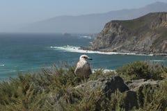 Gabbiano sulla strada principale della costa del Pacifico fotografia stock