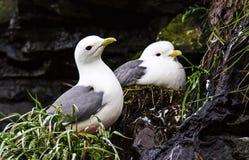 gabbiano tridattilo Nero-fornito di gambe Gabbiano due che custodice i loro nidi con la prole su una scogliera Uccello della colo fotografia stock libera da diritti