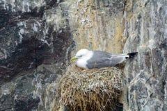 gabbiano tridattilo Nero-fornito di gambe, riserva naturale delle isole di Farne, Inghilterra Immagini Stock Libere da Diritti