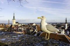 Gabbiano, uccello, tallin, drammatico, oldcity, piovoso, stati baltici immagine stock libera da diritti