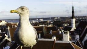 Gabbiano, uccello, tallin, drammatico, oldcity, piovoso, stati baltici closup, fotografie stock libere da diritti