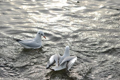 Gabbiano in un'acqua Immagine Stock