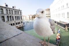 Gabbiano a Venezia Fotografie Stock