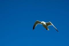 Gabbiano in volo Fotografie Stock