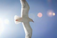 Gabbiano in volo Immagine Stock
