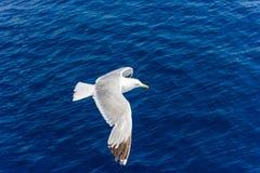 Gabbiano in volo Fotografie Stock Libere da Diritti
