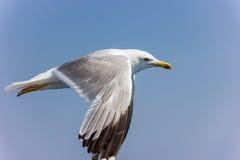 Gabbiano in volo Fotografia Stock