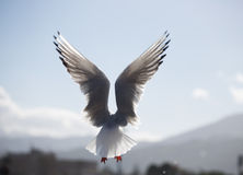 Gabbiano in volo Anzeigenali-aperte e UNO-splendido cielo azzurro Seemöwe im Flug mit offenen Flügeln Lizenzfreies Stockfoto