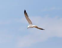 Gabbiano in volo nel cielo Fotografia Stock Libera da Diritti