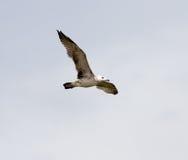 Gabbiano in volo nel cielo Immagini Stock