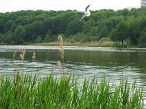 Gabbiano in volo sopra il fiume Fotografia Stock