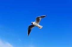 Gabbiano in volo sul fondo del cielo blu Immagini Stock Libere da Diritti