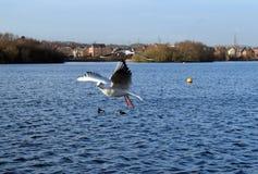 Gabbiano in volo sul lago Immagini Stock Libere da Diritti