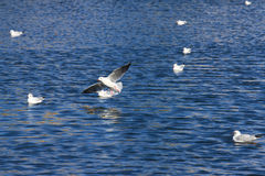 Gabbiano in volo vicino al mare Immagine Stock