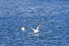 Gabbiano in volo vicino al mare Fotografie Stock
