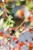 Gabel-angebundenes Sunbird hockte auf einem Baumast mit grünen Blättern Lizenzfreie Stockfotos