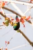 Gabel-angebundenes Sunbird hockte auf einem Baumast mit grünen Blättern Lizenzfreies Stockbild