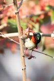Gabel-angebundenes Sunbird hockte auf einem Baumast mit grünen Blättern Lizenzfreie Stockbilder