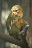 Gabon talapoin. The couple of gabon talapoin sitting on the branch Stock Photography