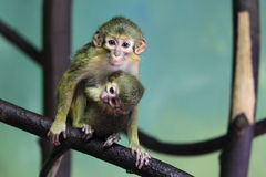 Gabon talapoin. The couple of gabon talapoins on the branch Stock Images