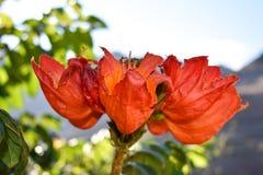 Gabon Tulip Flower arkivfoto