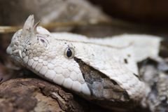 Gabon Viper, Bitis Gabonica Stock Image