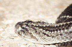 Gabon Viper Royalty Free Stock Photography