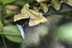 Gabon viper and prey Stock Photos