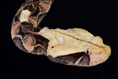 Gabonica gabonica Bitis οχιών Gaboon στοκ φωτογραφία με δικαίωμα ελεύθερης χρήσης