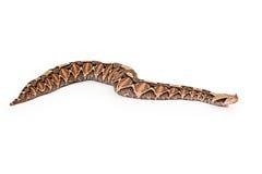Gaboon蛇蝎大蛇侧视图 免版税库存图片