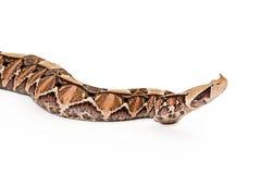 Gaboon蛇蝎蛇举的头特写镜头  库存照片