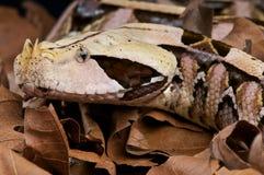 gaboon蛇蝎 免版税库存照片
