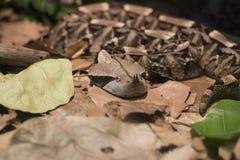 Gaboon蛇蝎 库存图片