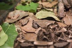 Gaboon蛇蝎 图库摄影