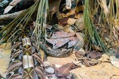 Gaboon蛇蝎 免版税库存图片