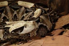 Gaboon蛇蝎- Bitis犀牛 库存图片